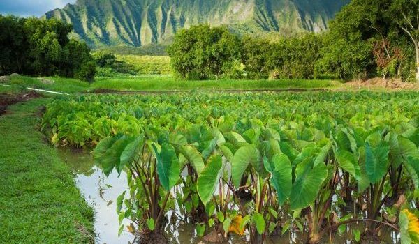 Locally produced agriculture is a vital part of our economy. Combining cultural wisdom with new scientific methods carbon smart farmers can reduce carbon emissions and improve crop yields through utilizing cover crops, organic farming, agroforestry and other carbon smart practices.  Here, wetland taro farming demonstrates the role cultural practices can/do play in addressing food and climate resiliency. Photo Credit: Hawaii Visitors and Convention Bureau Image library.